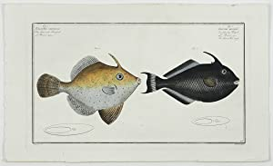 Allgemeine Naturgeschichte der Fische - Naturgeschichte der: Bloch, M. E.