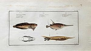 Der Bartfisch. Cycloptere barbu Cyclopterus Liparis. Centriscus: Bloch, Marcus Elieser: