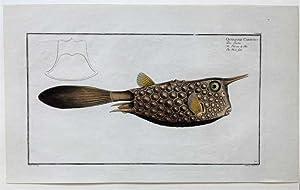 Bloch: Ostracion Cornutus. Altkolorierter Original Kupferstich 1782.: Bloch, Marcus Elieser: