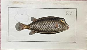 Bloch: Ostracion CUBICUS.Altkolorierter Kupferstich 1782: Ostracion CUBICUS.: Bloch, Marcus Elieser: