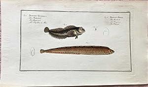 Blennius Gunellus. Der Butterfisch. The Butterfish -: Bloch, Marcus Elieser: