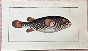 Der Schildkrötenfisch . Tetrodon Testudineus - Der: Bloch, Marcus Elieser: