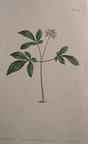 ORIGINAL HAND-COLOURED COPPER ENGRAVING - Panax pusilla: Curtis, William