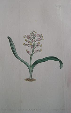 ORIGINAL HAND-COLOURED COPPER ENGRAVING - Lanchenalia unicolor: Curtis, William