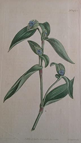 ORIGINAL HAND-COLOURED COPPER ENGRAVING - Tradescantia cristata: Curtis, William