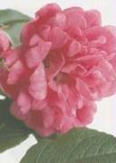 9780307406057: Roses 5 x 7 Journal