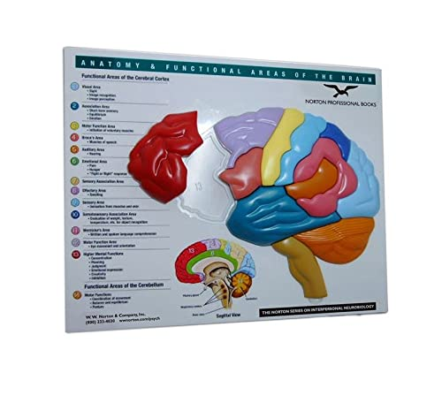 9780393732894: Brain Model & Puzzle: Anatomy & Functional Areas of the Brain