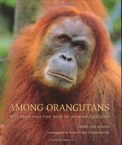 9780674015777: Among Orangutans: Red Apes and the Rise of Human Culture
