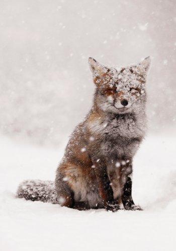 9780735341319: Snow Fox Boxed Holiday Half Notecards (Christmas Half Note Box Notecard)