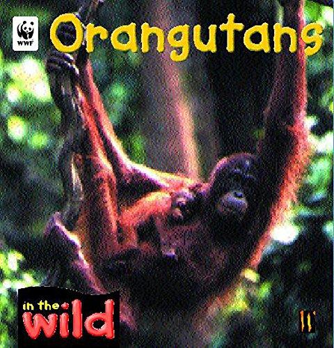 9780750242318: Orangutans (In the Wild)