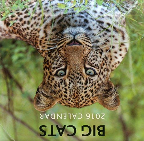9780754831020: 2016 Calendar: Big Cats (Calendars 2016)