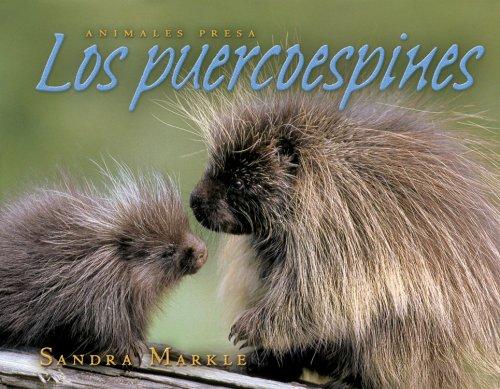 9780761338970: Los Puercoespines / Porcupines (Animales Presa / Animal Prey)