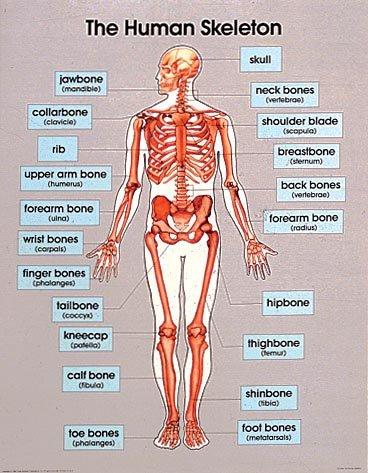 9780768212440: The Human Skeleton (Cheap Charts)