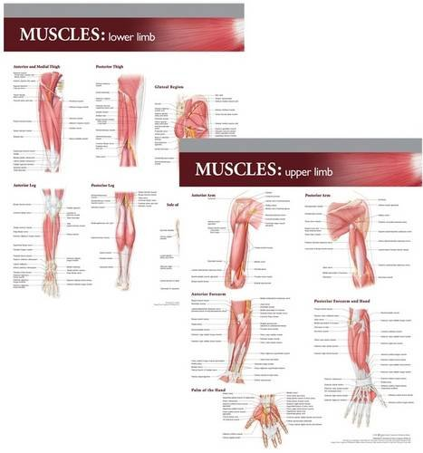 9780781786386: Lippincott Williams & Wilkins Atlas of Anatomy Musculature Chart Set