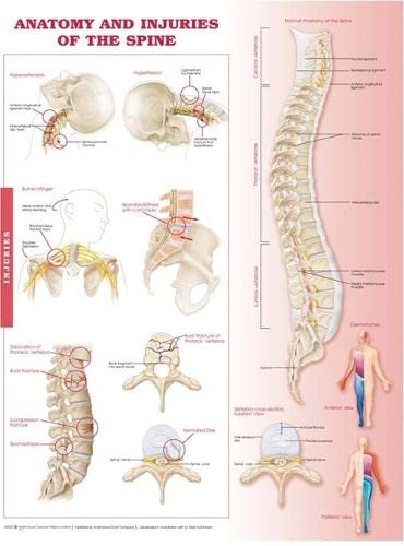 9780781786676: Anatomy and Injuries of the Spine Anatomical Chart
