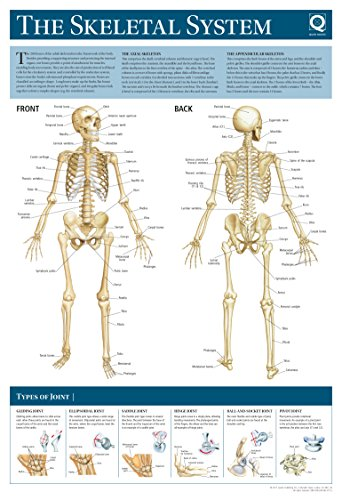 Human Anatomy Wallchart: The Skeletal System: Quad Books