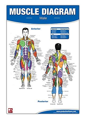 9780973941111: Male Muscle Diagram