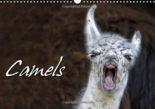 9781325064908: Camels / UK-Version 2016: Expressive Portraits of Camels (Calvendo Animals)