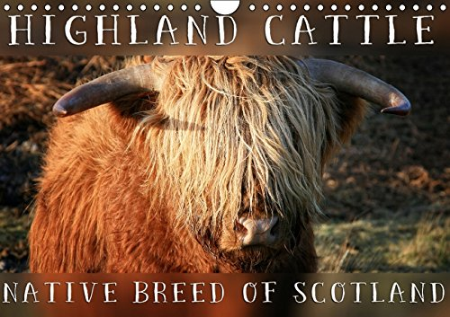 9781325069101: Highland Cattle - Native Breed of Scotland 2016: Highland Cattle, the scottish cattle breed photographed in its own natural habitat. (Calvendo Animals)