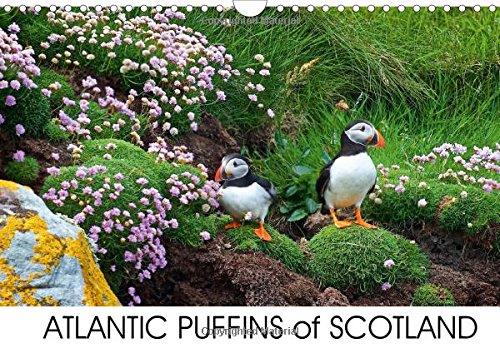 9781325107445: Atlantic Puffins of Scotland 2016: Puffins Calendar (Calvendo Nature)
