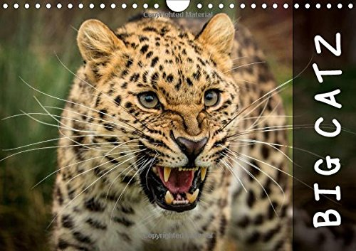9781325112722: Big Catz 2016: A calendar featuring some of the worlds most beautiful and rarest big cats (Calvendo Nature)