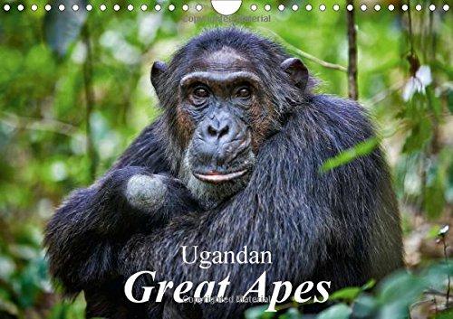 9781325113293: Ugandan Great Apes 2016: Photographs of Wild Chimpanzees and Mountain Gorillas (Calvendo Animals)