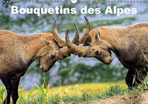 Bouquetins des Alpes 2016: Plans Rapproches et Portrait de Bouquetins des Alpes (Calvendo Animaux) ...