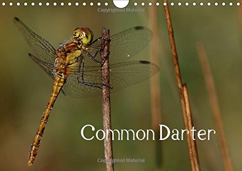 9781325116584: Common Darter (Wall Calendar 2016 DIN A4 Landscape): The Fearless Dragonfly (Birthday calendar, 14 pages) (Calvendo Animals)