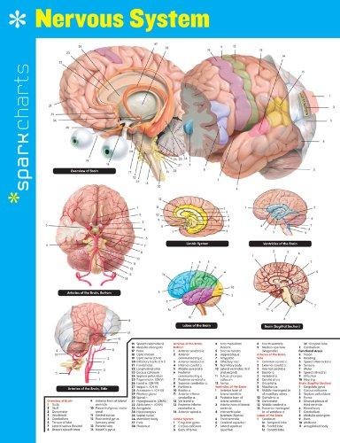 9781411470606: Nervous System SparkCharts