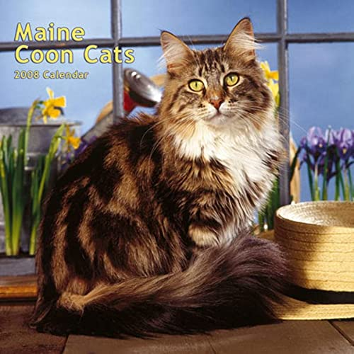 9781421621685: Maine Coon Cats 2008 Square Wall Calendar (Multilingual Edition)