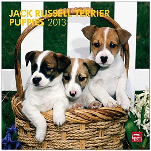 9781421698250: Jack Russell Terrier Puppies 2013 Square 12X12 (Multilingual Edition)