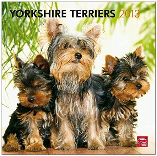 9781421698946: Yorkshire Terriers 2013 Square 12X12 Wall (Multilingual Edition)