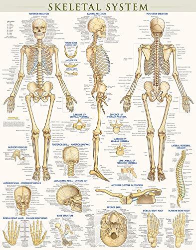 9781423220671: Skeletal System-Laminated