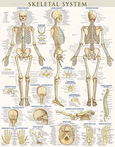 Skeletal System-Laminated: Inc. BarCharts