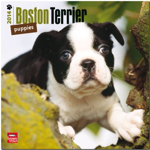 9781465009432: Boston Terrier Puppies 18-Month Calendar (Multilingual Edition)