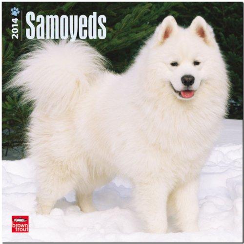 9781465012432: Samoyeds Calendar (Multilingual Edition)