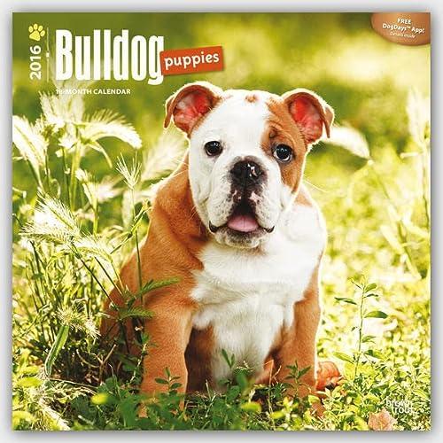 9781465040480: Bulldog Puppies - 2016 Calendar 12 x 12in