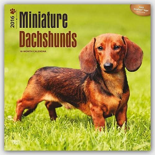 9781465040794: Dachshunds, Miniature 2016 Square 12x12 (Multilingual Edition)