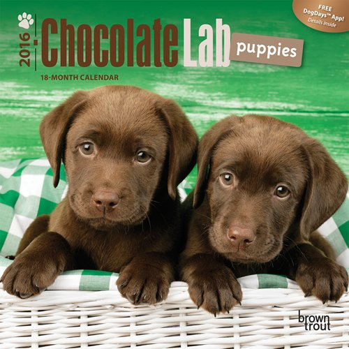 9781465041425: Labrador Retriever Puppies, Chocolate 2016 Mini 7x7 (Multilingual Edition)