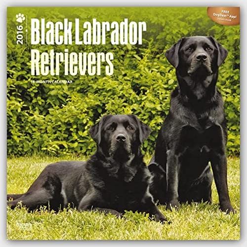 9781465041487: Labrador Retrievers, Black 2016 Square 12x12