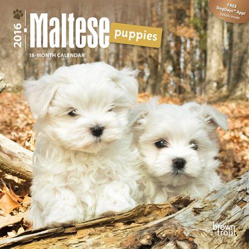 9781465041579: Maltese Puppies 2016 Mini 7x7 (Multilingual Edition)