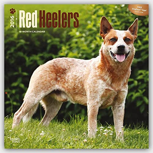 9781465045720: Red Heelers - 2016 Calendar 12 x 12in