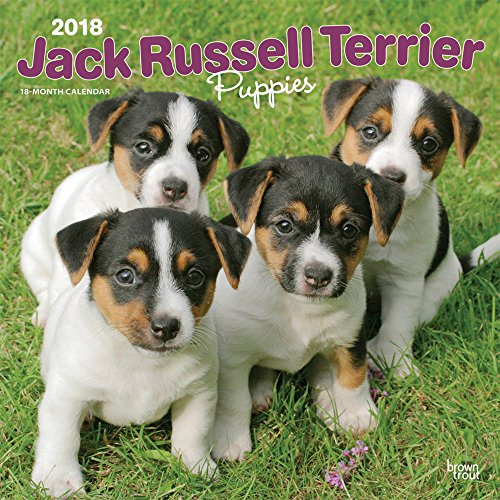 Jack Russell Terrier Puppies 2018 12 x 12 Inch Monthly Square Wall Calendar, Animals Dog Breeds ...