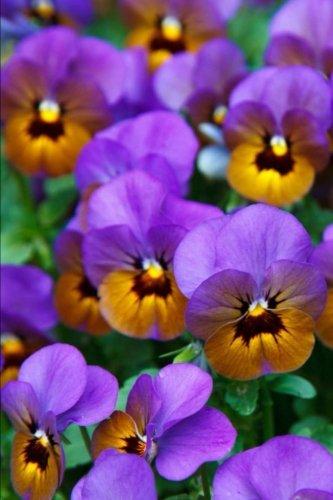 Mind Blowing Purple Pansies Journal: 150 Page: Journals, Mindblowing