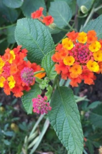 9781517541637: Lantana Camara Flowers for the Love of Gardening: Blank 150 Page Lined Journal for Your Thoughts, Ideas, and Inspiration