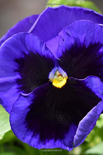 Sweet and Lovely Purple and Black Pansy: Creations, Cs