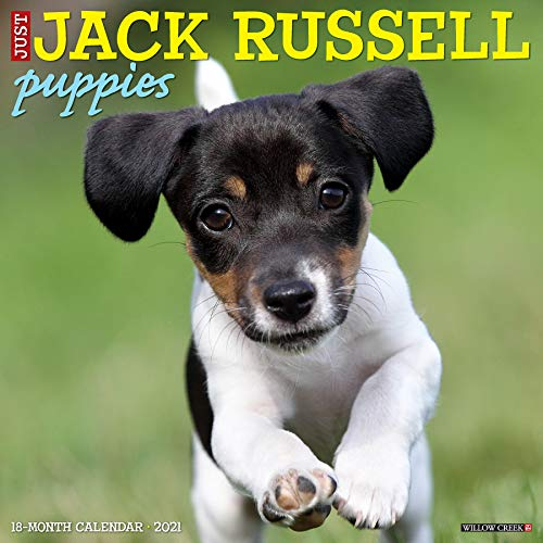 9781549212253: Just Jack Russell Puppies 2021 Wall Calendar (Dog Breed Calendar)