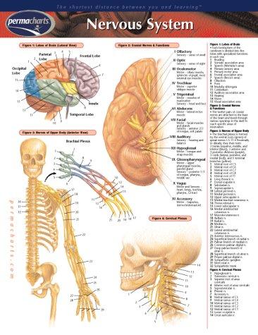 Nervous System (Life Sciences)