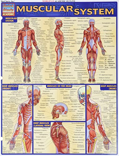 9781572224971: Muscular System (Quick Study Academic)