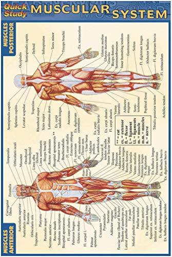 Muscular System (Quickstudy): BarCharts, Inc.
